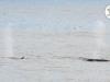 ferry-walvissen-spotten